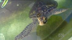 Discover how a community is working together to give sick and injured turtles in North Queensland a second chance at...