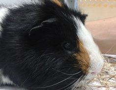 Max Cortada #Cobaya #veterinario www.veterinarioexoticos.com