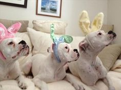Pets: Boxer puppy and rabbit photo WP38295  Boxer Dogs With Bunnies
