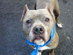 TO BE DESTROYED 4/23/14 Manhattan Center   KIMBLE - A0996605  MALE, BR BRINDLE / WHITE, PIT BULL MIX, 8 yrs STRAY - STRAY WAIT, NO HOLD Reason STRAY  Intake condition NONE Intake Date 04/14/2014, From NY 10458, DueOut Date 04/17/2014, I came in with Group/Litter #K14-173831. https://www.facebook.com/photo.php?fbid=788591367820411&set=a.617942388218644.1073741870.152876678058553&type=3&theater
