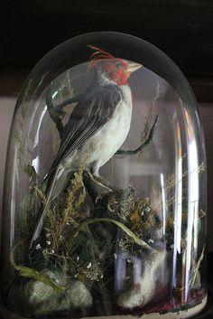 Taxidermy bird dome.