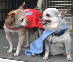 Two brave Chihuahuas saving dogs from puppy mills. Go Harley and Teddy!