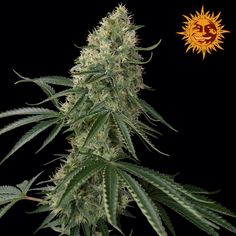 Sin Tra Bajo Auto Feminised Seeds