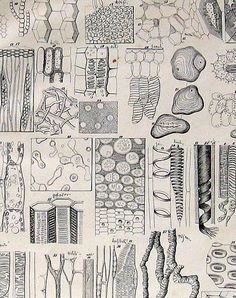 1848 Antique Botanical Print Plate Plant Cells I