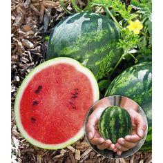 PN2792 Pflanzen - Gemüsepflanzen - weitere beliebte Gemüsesorten - Mini Wassermelone 'Mini Love' F1,1 Pflanze