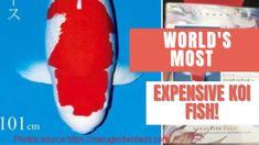S Legend The World's Most LARGEST Expensive Koi Fish! Koi Fish Pond, Kohaku, Farm Photo, Red And White, World, The World
