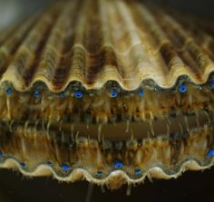 Microscopic life, Kathryn Markey,  Aquatic Diagnostic Laboratory, Roger Williams University  Bristol, USA. Juvenile live bay scallop Argopecten irradians. An Olympus BioScapes competition winner. Displayed at New York Hall of Science.