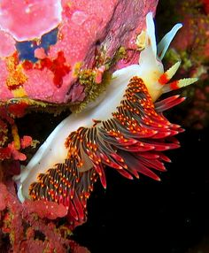#Nudibranch - Phidiana hiltoni #seaslug