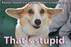 Corgis explain the 2012 NCAA Final Four. Too Funny. Click the link, it's a good source. Kansas. College basketball.