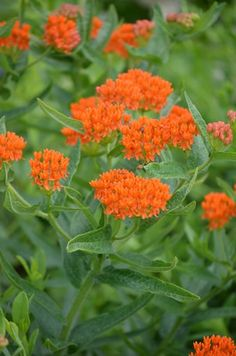 A favorite food of the Monarch Butterfly, Asclepias tuberosa, Butterfly Weed, is most often a distinctive bright orange but there is some variation in flower color, from deep red-orange to yellow. This distinctive color and the absence of the typical milky sap make identification easy.