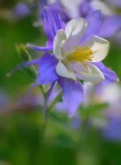 "500px / Photo ""Columbine Flower Aquilegia"" by Nate A 