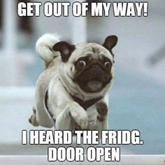 Pugs have a 6th sense for food. Thank you to DaPuglet Pugs on Pinterest!  www.jointhepugs.com  #pugpower #puglife