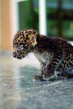 Jaguar cub (NT)