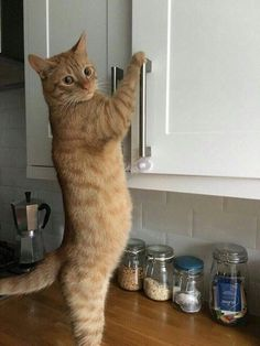 cats funny & beautiful cats for cats love! cats and kittens, beautiful cats, pretty cats pretty cats breeds pictures Cute Funny Animals, Cute Baby Animals, Funny Cats, Animals Dog, Animals Images, Cute Kittens, Ragdoll Kittens, Bengal Cats, Siamese Cats