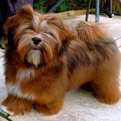 More About Havanese Facts Source by The post Havanese Videos appeared first on Floyd Pet Supplies. Havanese Grooming, Havanese Puppies, Shih Tzu Dog, Boxer Puppies, Boxer Mix, Bichon Frise, Havanese Haircuts, Pet Grooming, Bear Dog Breed