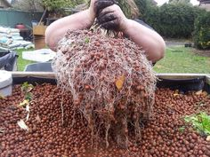 Chive root system in Aquaponics