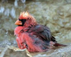 Cardinal rouge mêle - Northern Cardinal male (Cardinalis cardinalis). Northern Cardinal Male ( Cardinalis cardinalis ) by gary1844 on Flickr...