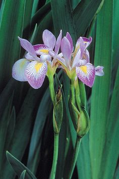 Wild Iris Seed (Iris shrevei) Light: Full Sun, Partial Soil: Sand, Loam, Clay Moisture: Wet Benefits: Butterflies, Pollinators, Hummingbirds Height: 2'-3' Blooms: Jun, Jul Zones: 3 - 8 Color: Purple, Lavender, Blue Spacing: 1' Root: Rhizome