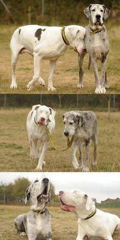 The white dog is blind and his friend is his seeing eye dog.