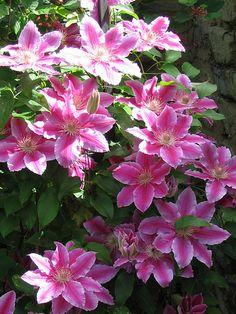 Pink Clematis. 铁线莲