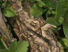 Europe - ANGLE SHADES MOTH - Phlogophora meticulosa. . . .Photo: Adrian Hoskins