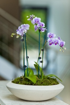 Orchid display in white stone bowl