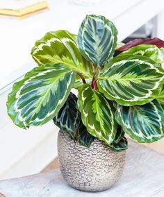 Buy The zebra plant (marantaceae) Calathea Medaillon Goeppertia veitchiana 'Medaillon' - This plant has exotic-looking colourful foliage: Delivery by Waitrose Garden