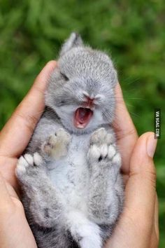 Bunny yawns are seriously the cutest
