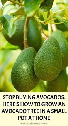 : Avocado is one of the newest staple foods of modern healthy eating. The delicious bowl ... - New Ideas - #Avocado #the #the #A #Nutrition #Healthier  You are in the right place about avocado salsa  Here we - #avocado #eating #foods #healthy #modern #newest #staple Herbal Remedies, Home Remedies, Natural Remedies, Health Remedies, Natural Treatments, Herbal Cure, Growing An Avocado Tree, Growing Zucchini, Growing Fruit Trees