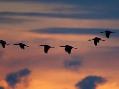 Photo: Stunning silhouettes of sandhill cranes in formation