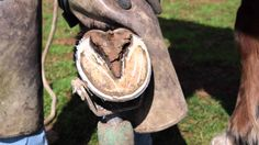 How to trim horse hooves: learn barefoot trimming the GoBarefoot way - I would trim the frog every other trimming, because I do not want fungus growing very deep into the frog.
