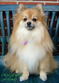 Different Haircuts for Pomeranians #pomeranian