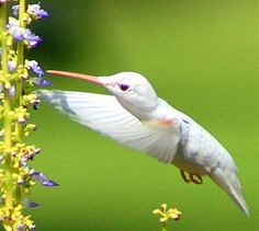 North Mississippi Herald - This rare ruby-throated albino hummingbird was spotted in Water Valley, MS by Tyler Epes.