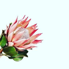The Protea · Strong + Regal One of my all time favorites - the geometric shapes. The Protea · Stro Flower Power, My Flower, Wild Flowers, Beautiful Flowers, Cactus Plante, Protea Flower, Diy Garden, Foliage Plants, Botanical Illustration