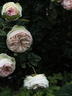 roses at the palais-royal, paris. dainty yet full-bodied: the kind of flower you'd want to smother your face in.