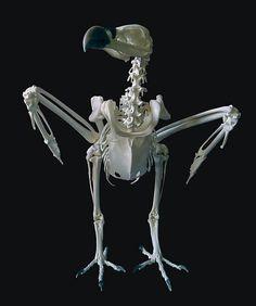 crow skeleton - Google Search