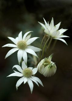 A Passion for Flowers: Flannel Flowers: A Symbol of Purity Australian Wildflowers, Australian Native Flowers, Australian Plants, Australian Bush, Exotic Flowers, White Flowers, Beautiful Flowers, Pink Roses, Flannel Flower