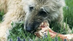 """Scientists say they have discovered why dogs love to eat meat and bones.    Ancient canines adopted pack-living about eight million years ago, to hunt larger prey, according to researchers.    The resulting evolution of their jaws gradually turned the ancestors of modern wolves, and ultimately our own pets, into """"hypercarnivores""""."""