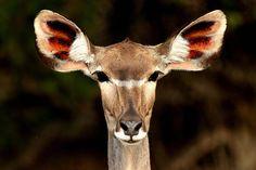 Ears.....