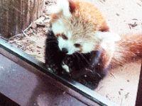New Panda Gif #4161 - Funny Panda Gifs| Funny Gifs| Panda Gifs