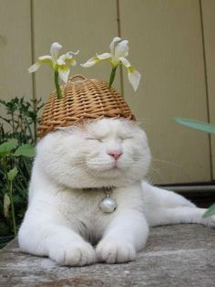 While cats might not always enjoy being dressed up in a full outfit, there's no reason your cat can't get in on the hat wearing fun and games, right? Here are five feline hat styles to inspire you to get into the swing of Fall Hat Month in September. I Love Cats, Crazy Cats, Cool Cats, Funny Cats, Funny Animals, Cute Animals, Cute Kittens, Cats And Kittens, Cats In Hats
