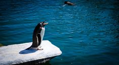 Black and White Penguin Standing on Gray Rock Near Body of Water  Free Stock Photo