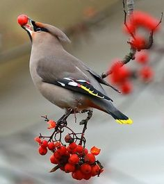 Bohemian Waxwing | Really hope to see one of these guys locally this Winter!