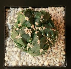 Astrophytum myriostigma cv Fukuryu della famiglia delle Cactacee