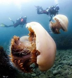 Giant jellyfish - omg....as if small jelly fish weren't scary enough!!!