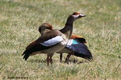 The Egyptian goose is a member of the duck, goose, and swan family Anatidae. It is native to Africa south of the Sahara and the Nile Valley. Egyptian geese were considered sacred by the Ancient Egyptians, and appeared in much of their artwork.