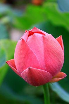 Enjoy Beijing's Blooming Lotus in Summer - Easy Tour China Water Flowers, Flowers Nature, Exotic Flowers, Amazing Flowers, Beautiful Flowers, Lotus Bud, Lotus Plant, Lotus Flower Pictures, Flower Photos