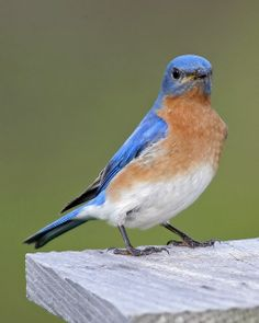 Eastern Bluebird -- Bluebirds can typically produce between two and four broods during the spring and summer in the Northeastern United States. Males identify potential nest sites and try to attract prospective female mates to those nesting sites with special behaviors that include singing and flapping wings, and then placing some material in a nesting box or cavity. If the female accepts the male and the nesting site, she alone builds the nest and incubates the eggs.