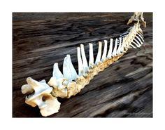 Spine Bone Art Taxidermied Animals Skeleton by MenasRusticDecor, $145.00
