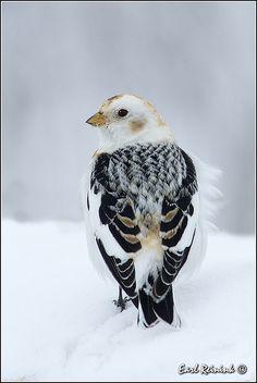Snow Bunting | Flickr - Photo Sharing!